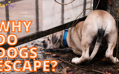 Fido or Escaping Master? Why do dogs escape?